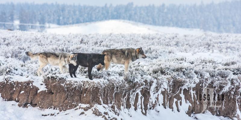 wild_wolf-1668.jpg :: Yellowstone wolf