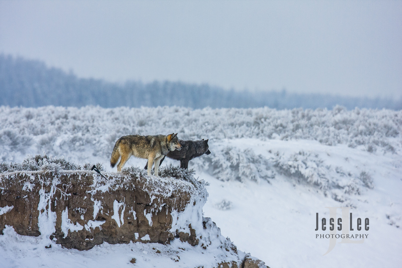 wild_wolf-1686(1).jpg :: Yellowstone wolf