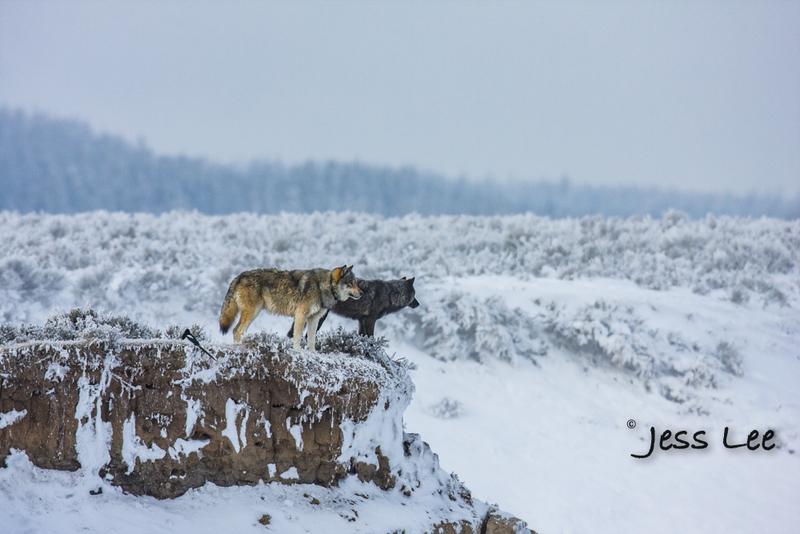 wild_wolf-1686-2(1).jpg :: Yellowstone wolf