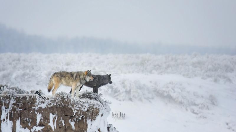wild_wolf-1686-2.jpg :: Yellowstone winter Wild Wolf