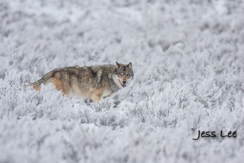 wild_wolf-1749-2(1).jpg :: Yellowstone wolf
