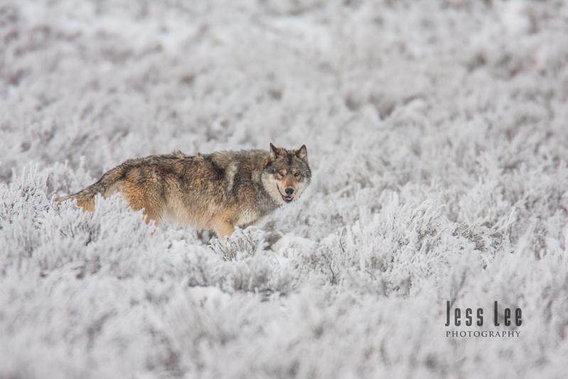wild_wolf-1749.jpg :: Yellowstone wolf