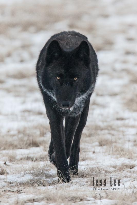 wild_wolf-1856.jpg :: Yellowstone wolf