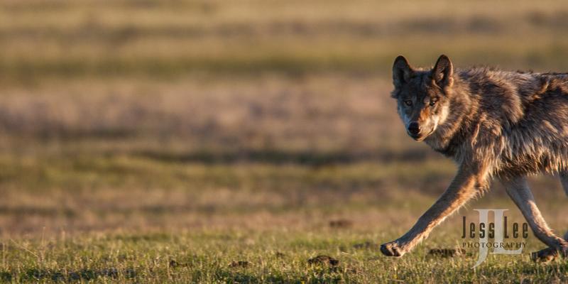 wild_wolf-2-57(1).jpg :: sunrise hunting wolf