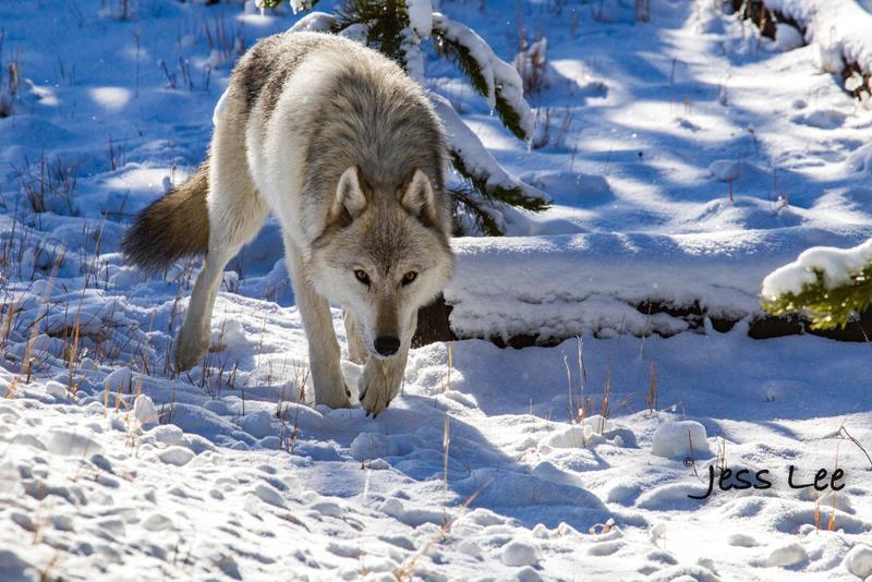 wild_wolf-40356(1).jpg :: Yellowstone wolf