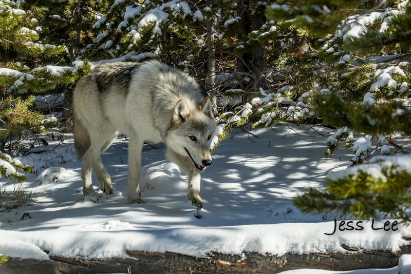 wild_wolf-40392(1).jpg :: Yellowstone wolf