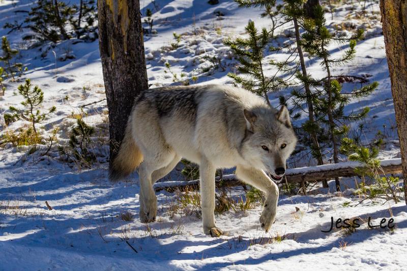 wild_wolf-40596(1).jpg :: Yellowstone wolf