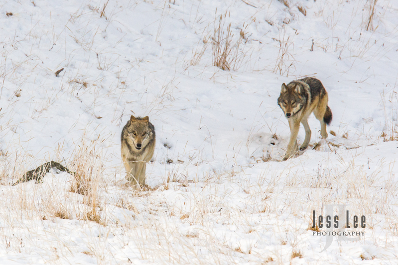 wild_wolf-4103.jpg :: Young wolves planing with adults
