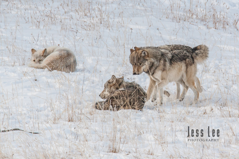 wild_wolf-4185.jpg :: sub adult wolves playing with parents