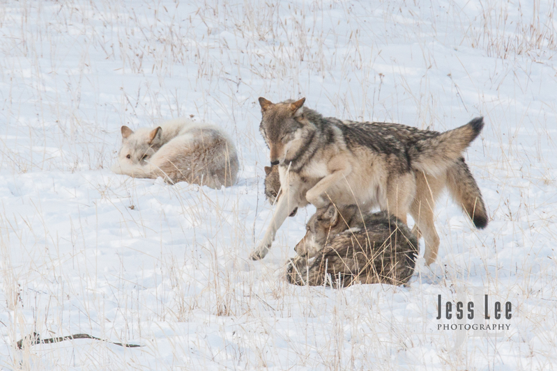 wild_wolf-4187(1).jpg :: sub adult wolves playing with parents