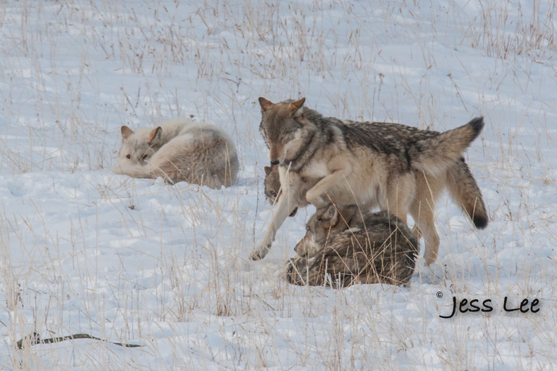 wild_wolf-4187-4(1).jpg :: sub adult wolves playing with parents