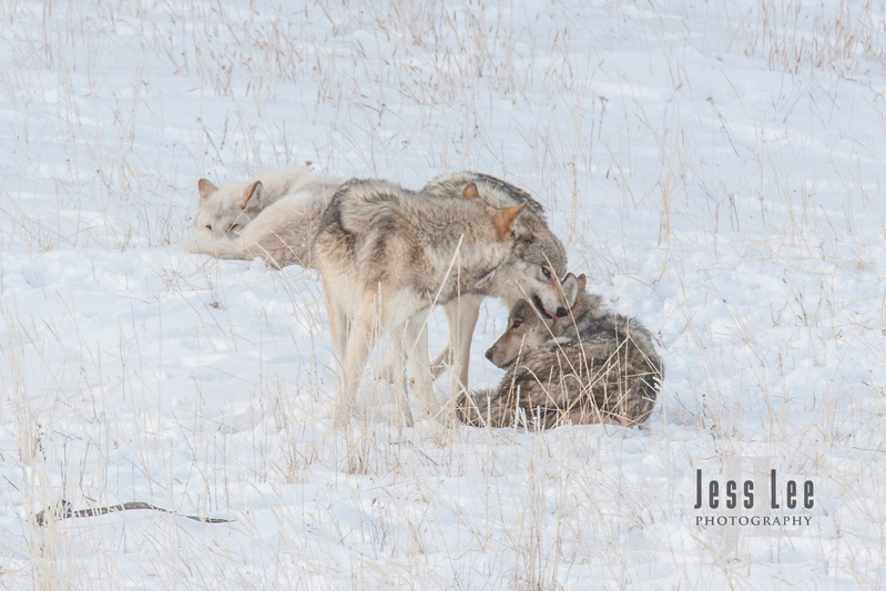 wild_wolf-4189.jpg :: sub adult wolves playing with parents