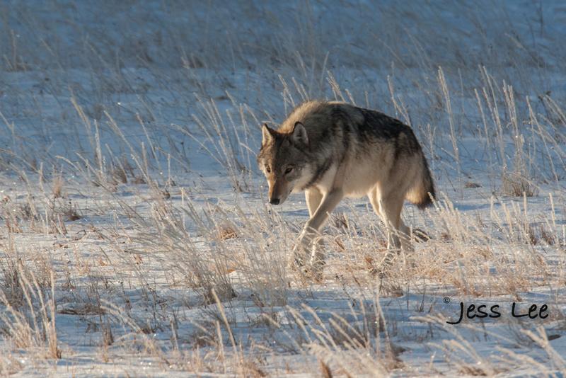 wild_wolf-4203(1).jpg :: Yellowstone wolf