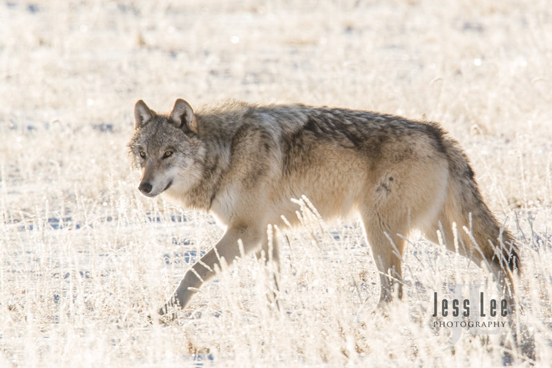 wild_wolf-4248-2.jpg :: wolf on frosty winter morning