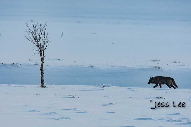 wild_wolf-4940-2(1).jpg :: Yellowstone wolf
