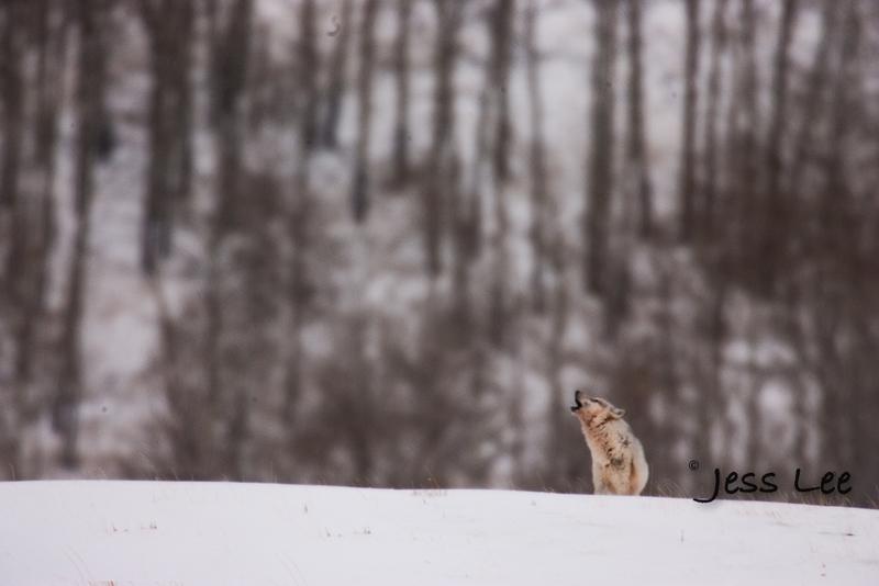 wild_wolf-8999(1).jpg :: howling wolf