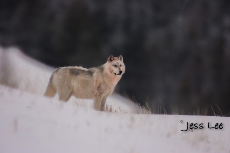 wild_wolf-9008-2(1).jpg :: winter wolf
