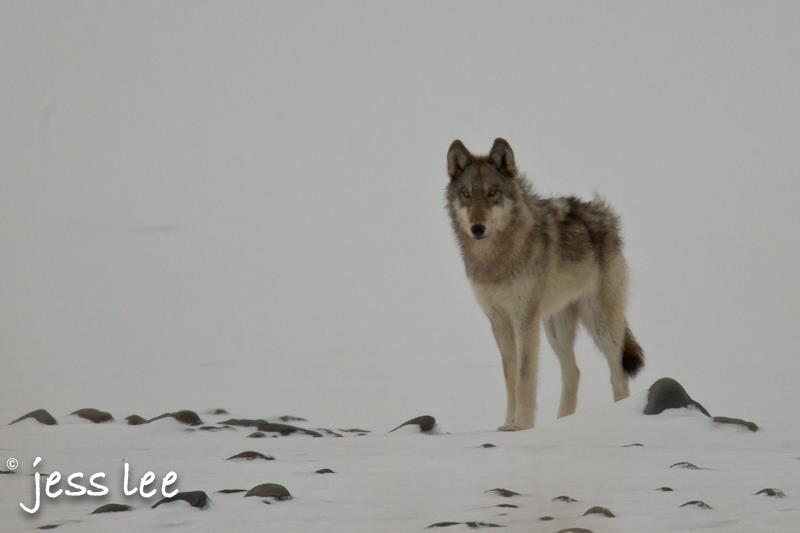 wolfwinter(1).jpg