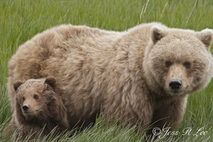 grizzly bear mom and cubs in alaska