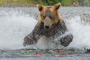 Brown Bear bear fishing Katmai