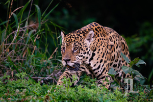 Jaguar Hunting photo