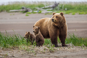 Courting Brown Bears. We are in Alaska just in time for the grizzly bear breeding season