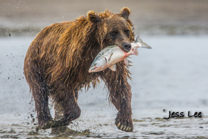 charging bear in water after salmon
