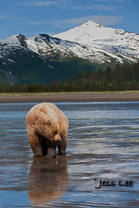 Katmai bear fishing for salmon