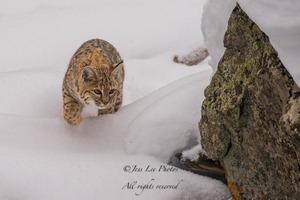 Yellowstone Bobcat