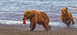bear chase katmai