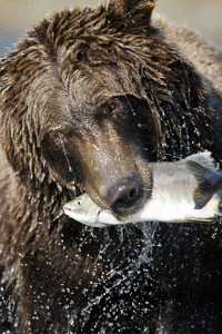 fishing bear Katmai