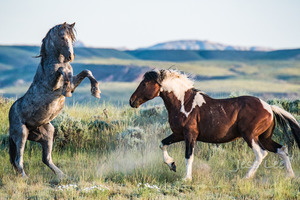 Wild Horse Fighting
