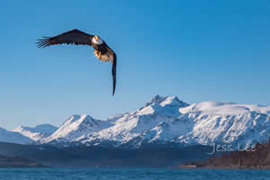 Alaska Bald Eagle Workshop