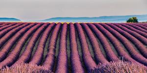 Lavender fields of France
