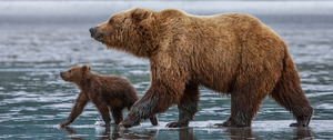 alaska bears mom and cub fishing