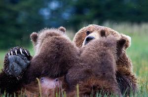 Brownbear and cubs