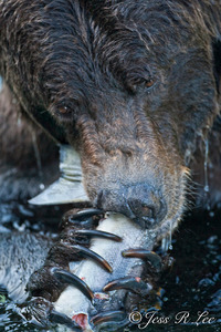bear and salmon katmai
