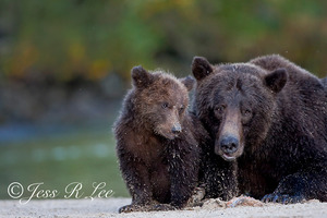 Brown bear cub and mom Katmai