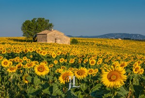 Sunflower Fields in France