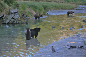 fishing bears katmai