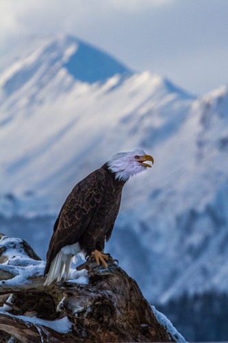 Alaska Bald Eagle-be756.jpg