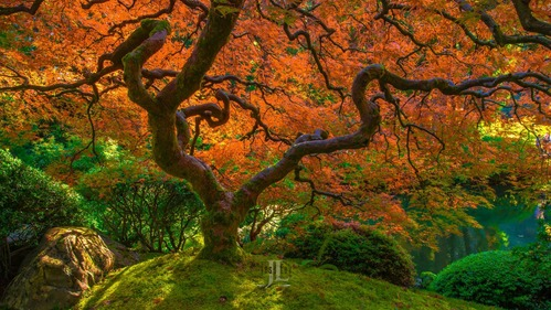 Flaming-japaneese-maple-tree-0534.jpg