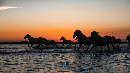 France-white-horses-camargue-9572.jpg