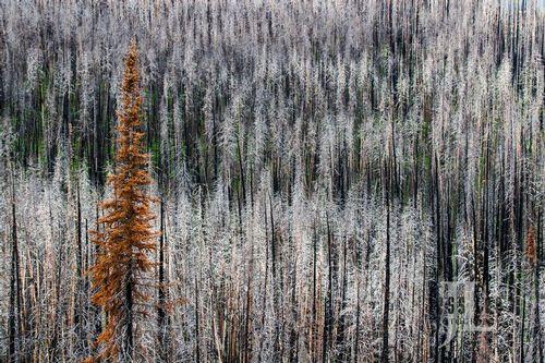 Gray-forrest-burnt-trees-MG_032.jpg