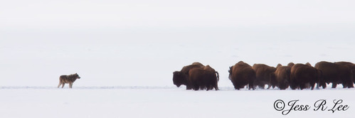 Wolf-and-Bison-Photo_MG_0403-10x30.jpg