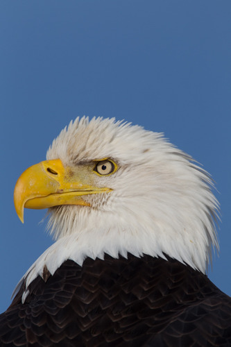 alaska-Bald-Eage-47449-1bd81.jpg