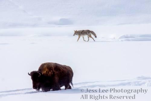 bisoncoyote.jpg