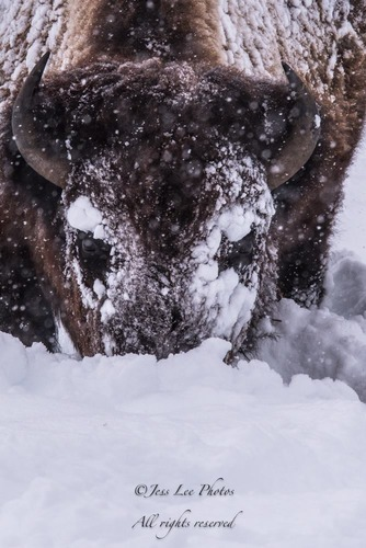 bisonfacedeepsnow-f0d17.jpg