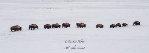 bisonmigration(1).jpg