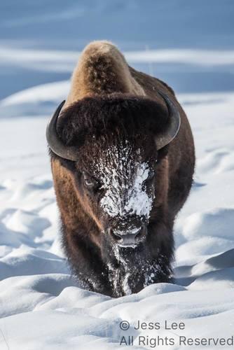 bisonwinter(1).jpg